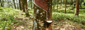Vulcanized Rubber starts with milk of the Rubber Tree